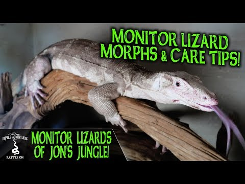 MONITOR LIZARDS OF JON'S JUNGLE!