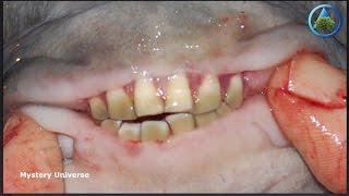 Amazonian Testicle-Biting