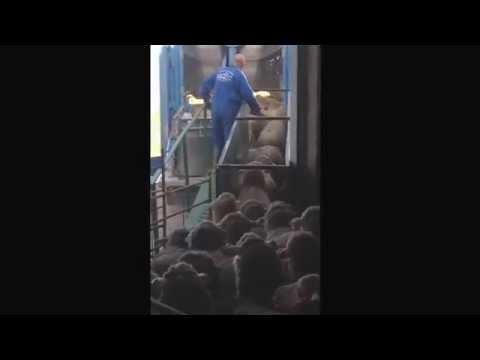 Cargando ovejas para embarcar ...
