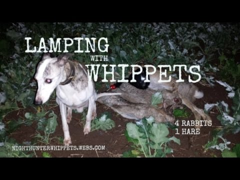 Lamping With Whippets 4 Rabbits 1 Hare