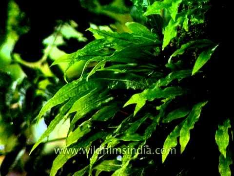 Species of fern