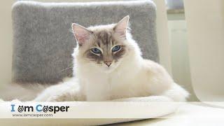 Ragdoll Cat Casper Grooming before Napping