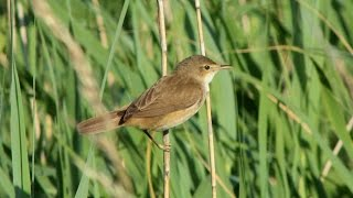 The Reed Warbler and its Song