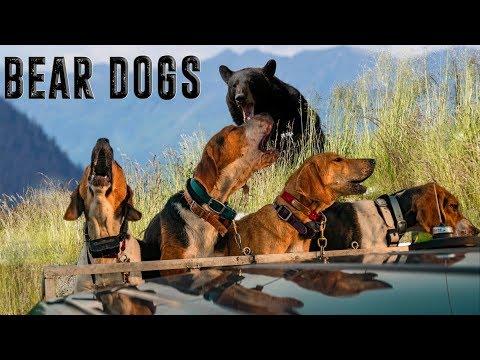BAYED UP BEAR WITHIN 5 FEET - Bear Dog Training