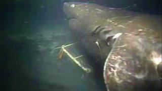 Megalodon Aufgenommen Auf Kamera – Fake oder Echt