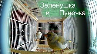 Мои Птицы Зеленушка и Пуночка Утро!