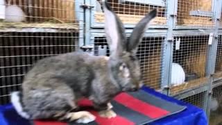 Кролики великаны породы Бельгийский великан купить(, 2016-01-26T18:32:47.000Z)