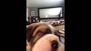 Bulldog Sharpei Mix Snoring