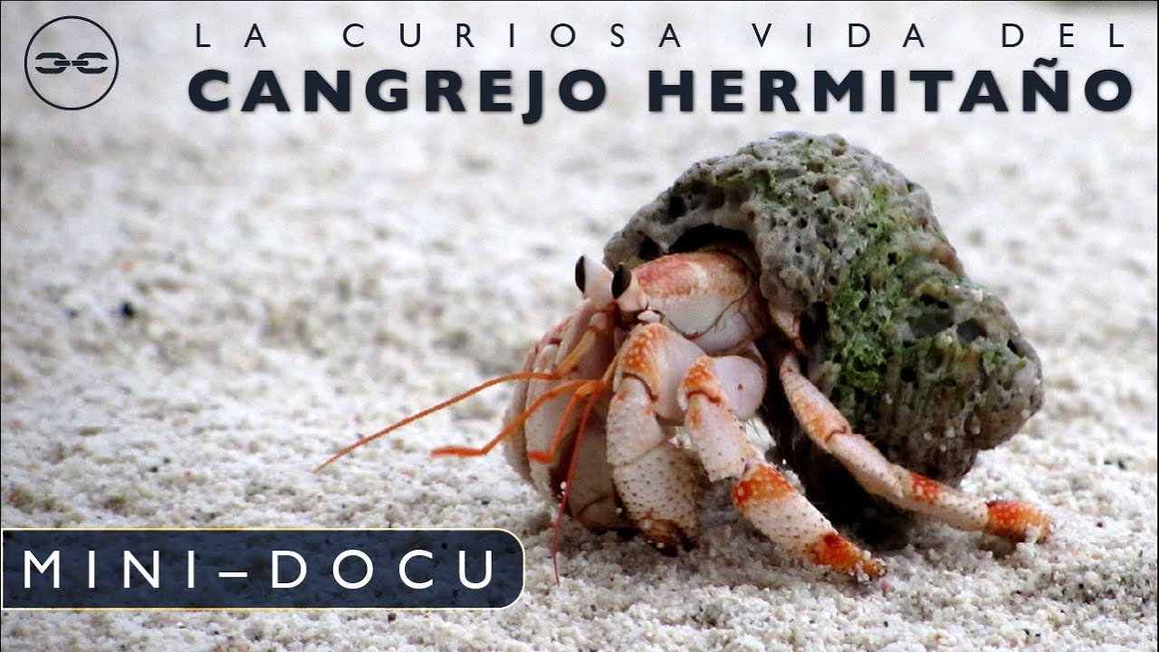 Mini-Docu: Cangrejo Ermitaño