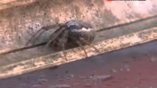 На Англию напали ядовитые пауки