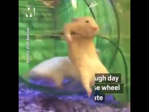 Humorous Hamster in Wheel fail