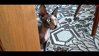 Sphynx cute cat  Funny Sphynx Cat  Mia