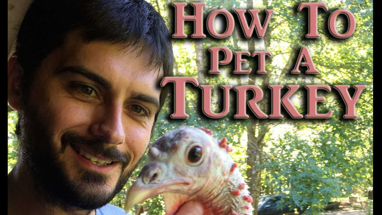 c078077f9d How To Pet A Turkey - Cute Funny Farm Animal - Little Baby Farm ...