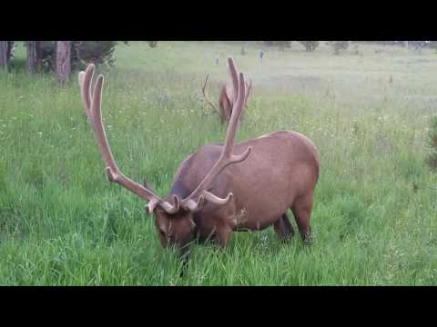 (Dangerously) close to ELK, Yellowstone National Park 7/28/2018