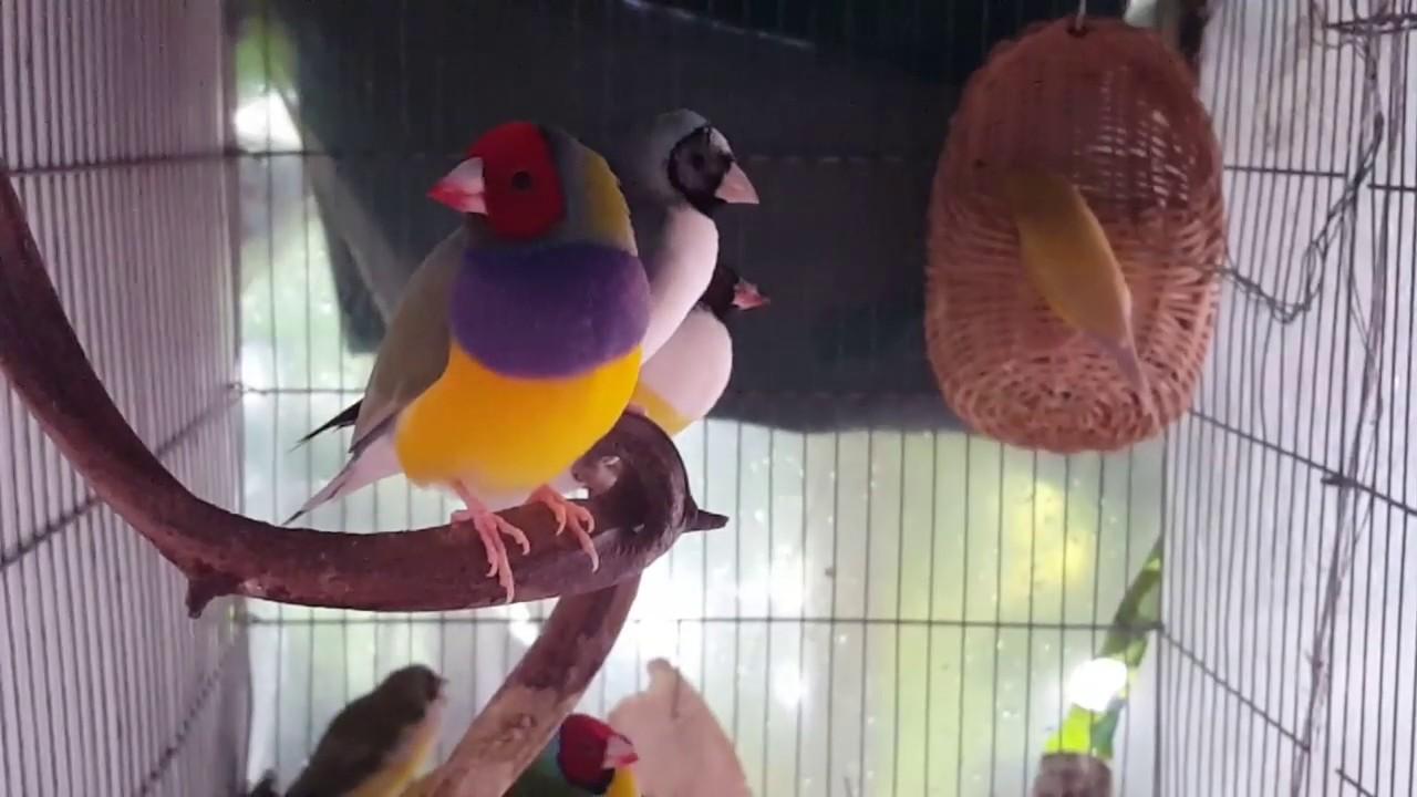 ฺBaby Gouldain Finch sound - YouTube
