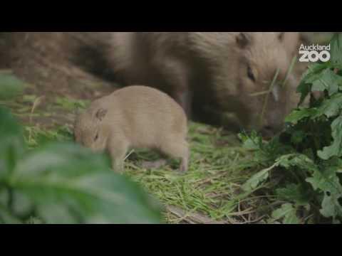 Zoo News - Capybara pups born at Auckland Zoo