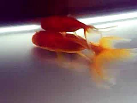 How To Breed Goldfish