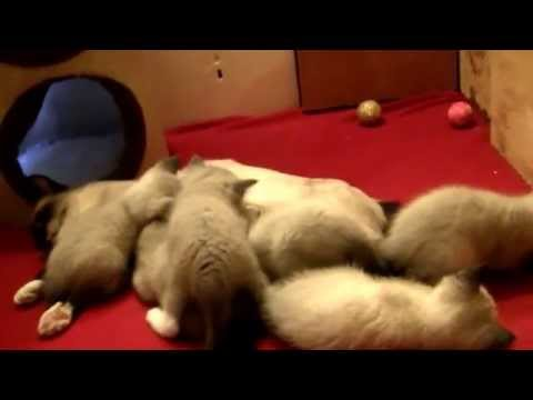 Cute Siamese kittens: Cute Siamese kittens trying to take a nap, with their Mother Siamese Cat