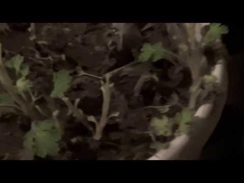 Розы и хризантемы зимовка в погребе