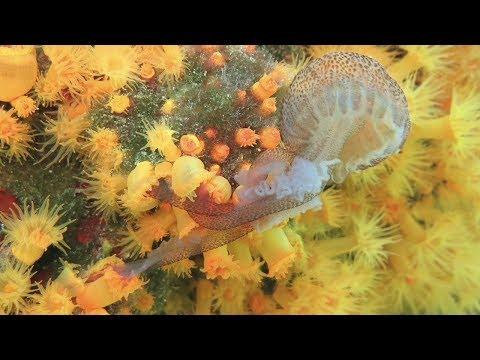 Corals Eating Jellyfish (Astroides Calycularis Vs Pelagia Noctiluca)