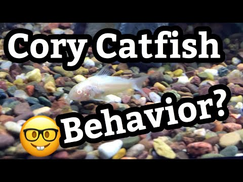 Behavior Of Albino Cory Catfish Tanks