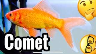 comet-goldfish-tank-care-growth---common