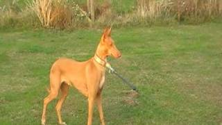 Our sweet pharaoh hound looking for hares.