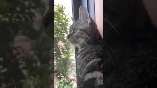 お出かけしたくて窓の外をじっと見つめ続ける子猫 #shorts