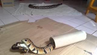 Ular sawa pendek ( Ball Python ) makan tikus 3