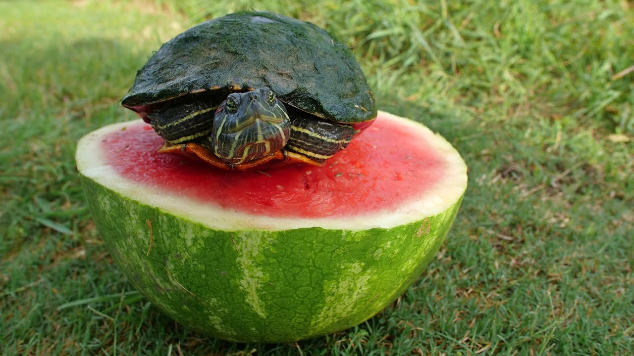 turtles love watermelon