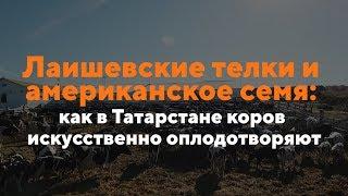 Лаишевские телки и американское семя: как в Татарстане коров искусственно оплодотворяют