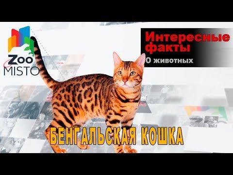Бенгальская кошка Интересные факты о породе | Кошка породы бенгал