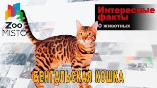 Бенгальская кошка - Интересные факты о породе  | Кошка породы бенгал