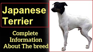 Japanese Terrier. Pros and Cons, Price, How to choose, Facts, Care, History