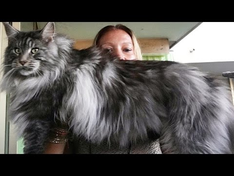 BEAUTIFUL MAINE COON cat black silver ...Look how maine coon cat is BIG !!!