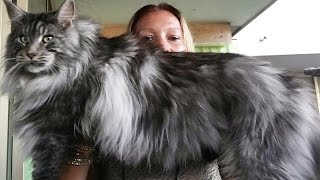 BEAUTIFUL BIG MAINE COON cat black silver ...Look how maine coon cat is BIG !!!