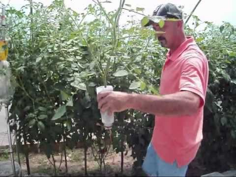 rooting tomato suckers / clones  a clever method, Natural flower