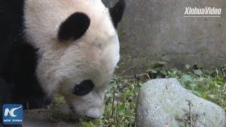 Giant panda Bei Bei returns to Ya'an, China