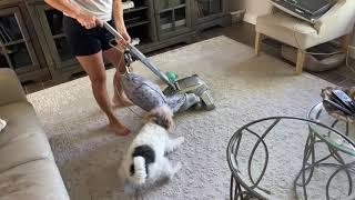 Wire Fox Terrier Attacks the Vacuum!!!