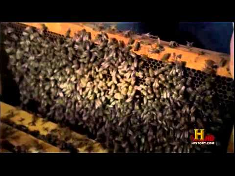 The Africanized Honey Bee (Documentary).