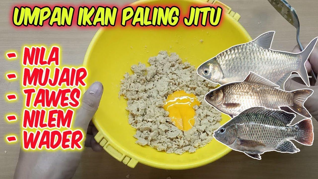Umpan Ikan Nila Mujair Tawes Nilem Wader Liar Dan Harian Paling Jitu Youtube