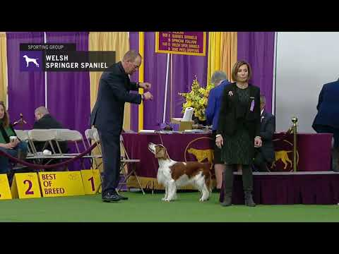 Spaniels Welsh Springer | Breed Judging 2019