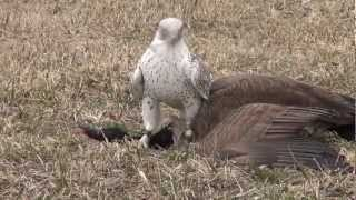 Repeat youtube video Gyrfalcon female takes Canada goose