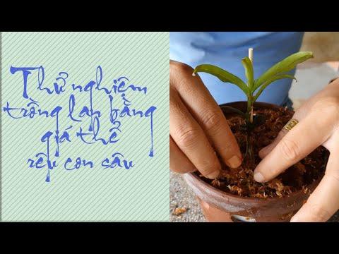 Lan Rừng Nghĩa Nguyễn||Thử nghiệm trồng lan với giá thể rêu con sâu ở xứ nóng | Foci