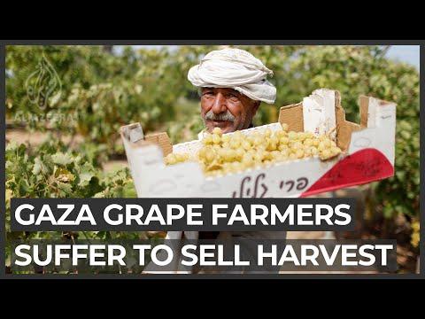Gaza grape farmers suffer amid Israeli blockade, pandemic