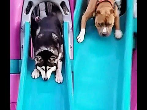 Alaskan Malamute & Pitbull REACT to Sliding at the Park