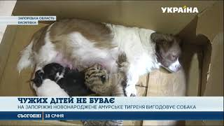 На Запоріжжі собака вигодовує новонароджене амурське тигреня