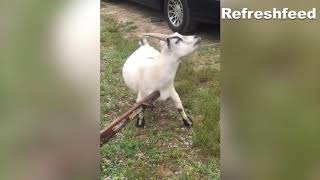 Have you ever seen funniest goats than these??- Animal Fail Compilations