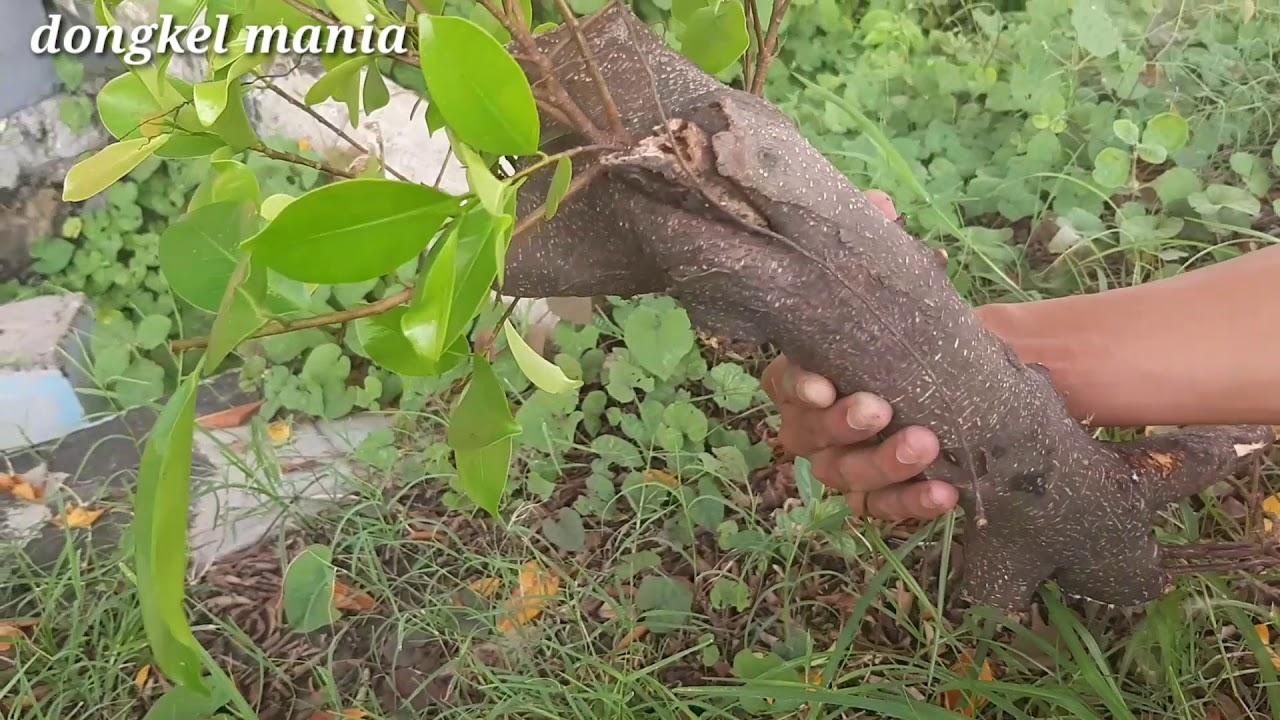 Mencari bahan bonsai beringin iprik di alam liar - YouTube