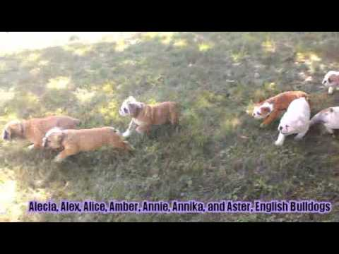 English Bulldog Puppies For Sale on Lancaster Puppies
